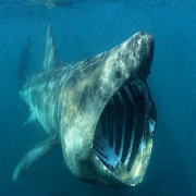 Greenland Shark Facts